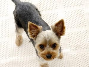 Postal: Perro mirando atento