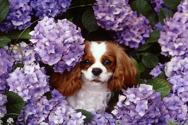 Perro entre las hortensias