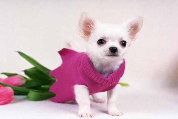 Chihuahua con jersey rosa
