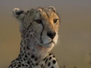 Postal: La cara de un bonito guepardo