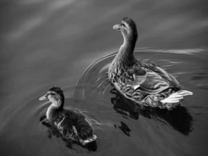 Postal: Dos patos en el agua