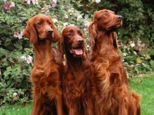 Tres perros marrones