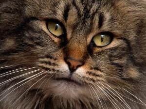 La cara de un bonito gato