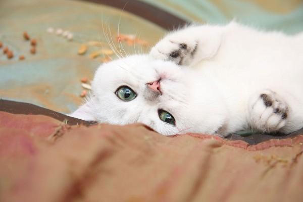 Gato blanco con bonitos ojos
