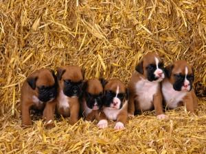 Postal: Algunos cachorros con el hocico rosa