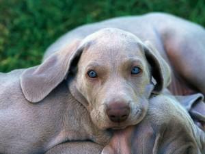Perro con los ojos azules