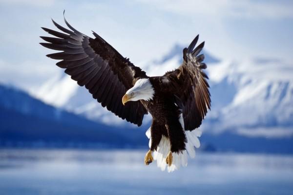 Águila calva con las alas extendidas