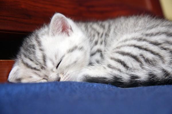 Gatito con rayas dormido