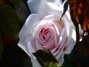 Preciosa y delicada rosa