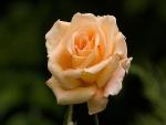 Rosa con gotas de agua