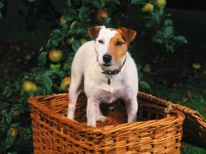 Postal: Perro en la cesta de las manzanas
