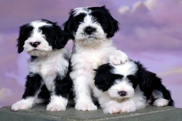 Tres perros de color blanco y negro