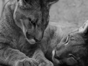 Pumas en blanco y negro