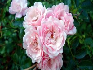 Postal: Conjunto de rosas