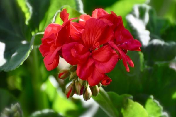 Flores rojas en la planta