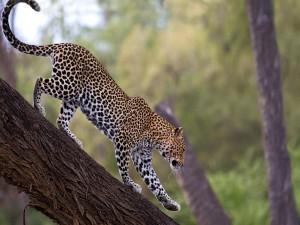 Leopardo en el tronco de un árbol