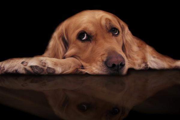 Perro con ojos tristes