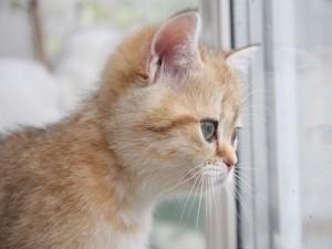 Gatito mirando por la ventana