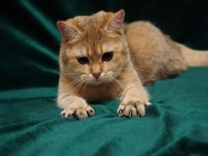 Postal: Gato arañando la sábana