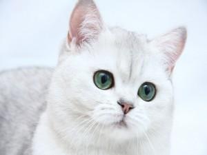 Gato blanco con preciosos ojos