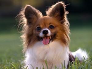 Postal: Perro con la lengua fuera en la hierba