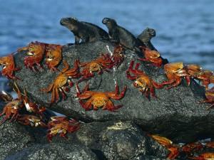 Cangrejos e iguanas marinas en la roca