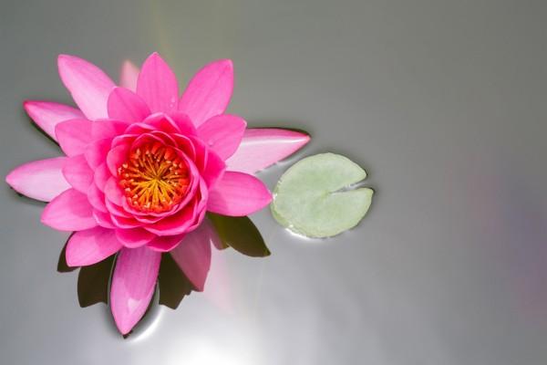 Nenúfar rosa y hoja pequeña en el agua