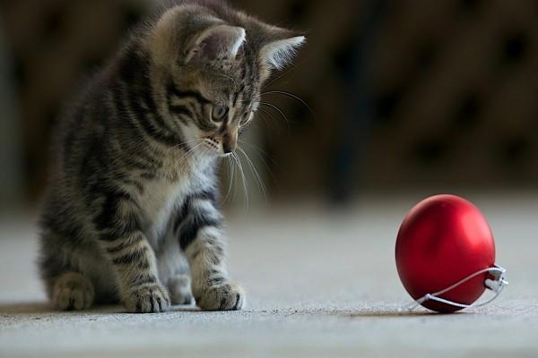 Gatito mirando una bola roja de Navidad