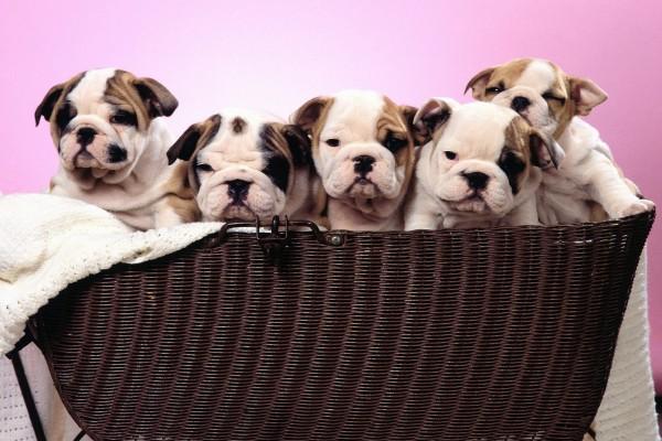 Cachorros en una cesta