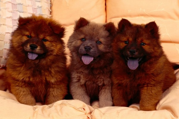 Tres cachorros Chow Chow