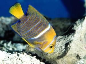 Postal: Angelfish en las piedras