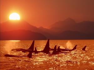 Un grupo de orcas al atardecer