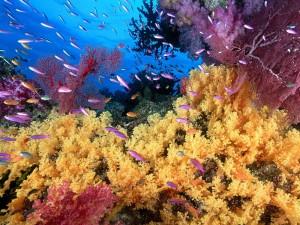 Muchos peces antias en el coral amarillo