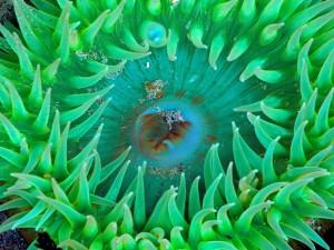 Boca de una anémona de mar