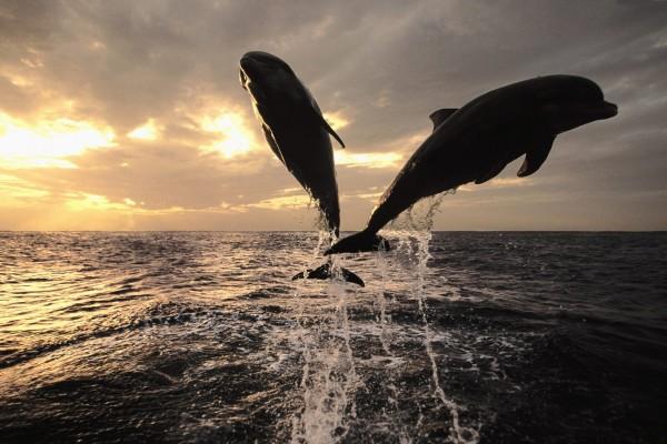 El salto de dos delfines