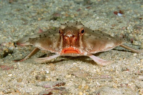 Pez murciélago labio-rojo