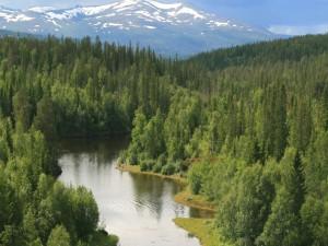 Río entre los pinos verdes