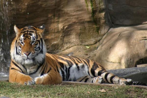 Un gran tigre tumbado