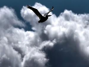 Pelícano volando entre las nubes