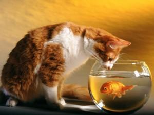 El gato mira al pez