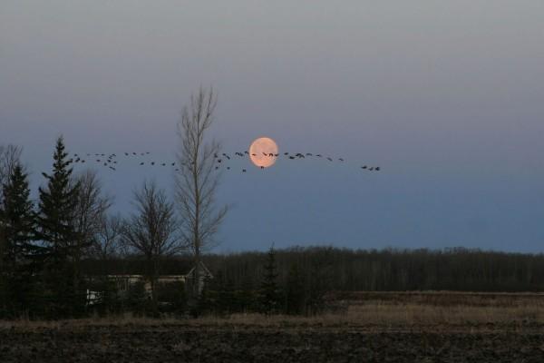 La luna y pájaros en el cielo