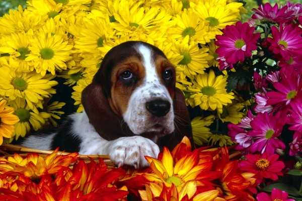 Perro en una cesta con flores