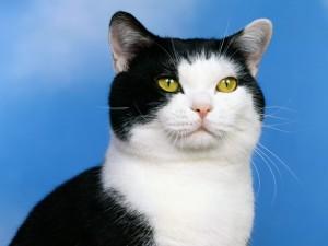 Un gato blanco y negro