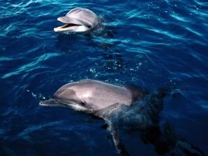 Delfines con la cabeza fuera del agua