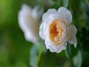 Rosa pequeña con pétalos abiertos