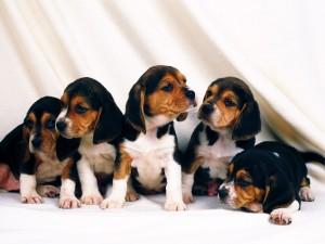 Cachorros de la raza Beagle