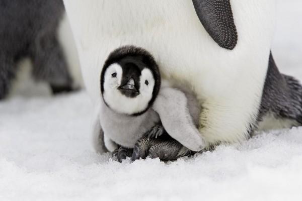 Pingüino pequeño debajo de su madre