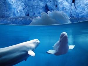 Dos belugas bajo el agua