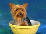 Yorkshire Terrier en un bol