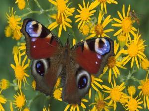 Mariposa y una abeja sobre flores amarillas